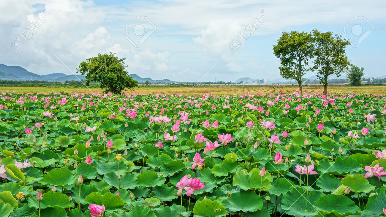 Vietnam travel at Mekong Delta, impression landscape of nature with lotus pond, flower blossom in vibrant pink, green leaf, beautiful petal make summer scene so amazing, large tree on the field