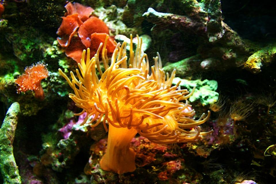sea-anemone-1460662_960_720
